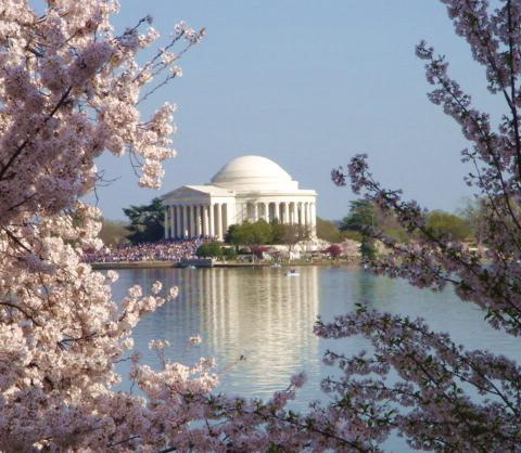 Cherry Blossoms Jefferson Memorial DC