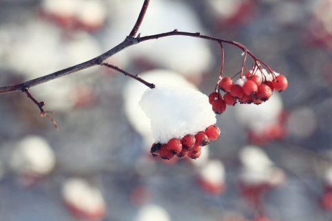 Snow on Holly at Christmas. Howerton+Wooten Events.